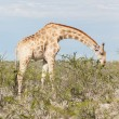 Giraffe in Etosha, Namibia — Stock Photo #38706639