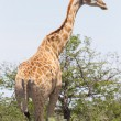 Giraffe in Etosha, Namibia — Stock Photo #38706661