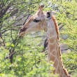 Stock Photo: Giraffe in Etosha, Namibia