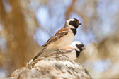 Cape Sparrow (Passer melanurus) — Stock Photo