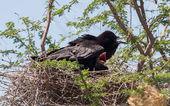 Cape crow (Corvus capensis) — Stock Photo