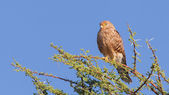Greater kestrel (Falco rupicoloides) — Stock Photo