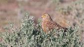 Greater kestrel (Falco rupicoloides) — Stock Photo