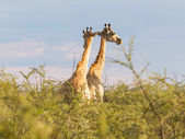 Giraffes in Etosha, Namibia — Stock Photo