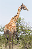 Giraffe in Etosha, Namibia — Stock Photo