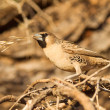 Stock Photo: Cape Sparrow (Passer melanurus)