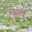 Stock Photo: Lion walking on rainy plains of Etosha