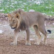 Lion walking on rainy plains of Etosha — Foto Stock #38838399