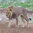 Foto Stock: Lion walking on rainy plains of Etosha
