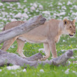 Lion walking on rainy plains of Etosha — Stok Fotoğraf #38838429