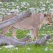 Lion walking on rainy plains of Etosha — 图库照片 #38838429