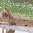 Стоковое фото: Lion walking on rainy plains of Etosha