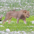 Lion walking on rainy plains of Etosha — Stok Fotoğraf #38838443