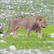 Lion walking on rainy plains of Etosha — Stock Photo #38838443