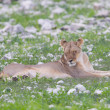 Lion walking on rainy plains of Etosha — Stockfoto #38838475