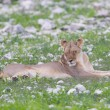 Lion walking on rainy plains of Etosha — ストック写真 #38838475