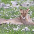 Lion walking on rainy plains of Etosha — Stockfoto #38838477