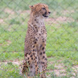 Cheetah in captivity — Stock Photo #38838531