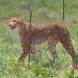 Cheetah in captivity — Stock Photo #38838535