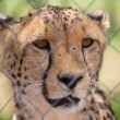 Cheetah in captivity — Stock Photo #38838539