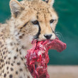 Cheetah in captivity — Stock Photo #38838547