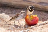 Two Cape Sparrows (Passer melanurus) — Stock Photo