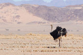 Male ostrich walking in the Namib desert — Stock Photo