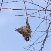 Deaceased Cape Sparrow (Passer melanurus) — Stock Photo