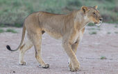 Lion walking on the rainy plains of Etosha — Stock Photo