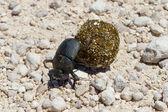 Dung beetle — Stock Photo