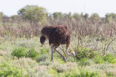 Female ostrich walking in Etosha national park — Stock Photo