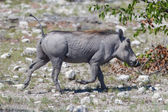 Warthog walking in Etosha National Park — Stock Photo