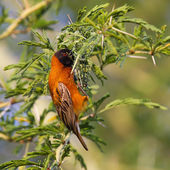 Southern Red Bishop busy building a nest — Stock Photo