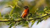 Southern Red Bishop busy building a nest — Foto de Stock