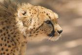 CLose-up of a wild cheetah — Stok fotoğraf