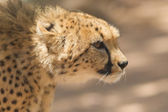 CLose-up of a wild cheetah — Stockfoto