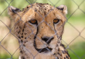 Cheetah in captivity — Stock Photo