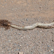 Roadkill - Horned Adder snake on a gravel road — Stock Photo #38889145
