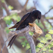 Fork-tailed Drongo eating a large insect — Stock Photo