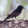 Fork-tailed Drongo — Stock Photo