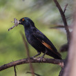 Red-winged Starling — Stock Photo