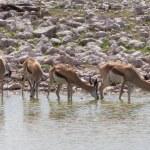 Springbok antelope (Antidorcas marsupialis), close-up, drinking — Stock Photo