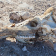 Stock Photo: Killed giraffe, skull