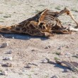Stock Photo: Killed giraffe