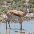 Springbok antelope (Antidorcas marsupialis), close-up, drinking — Stock Photo