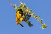 Südliche gelbe masked weaver — Stockfoto