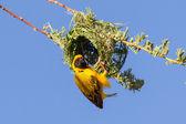 Southern Yellow Masked Weaver — Stock Photo