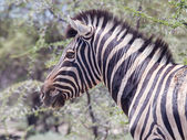 Burchells zebra (Equus Burchelli) — Stock Photo