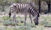 Burchells zebra (Equus Burchelli) — Stock Photo
