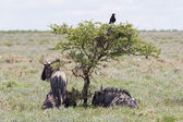 Wildebeest seeking shade at the plains of Etosha National Park — Stock Photo